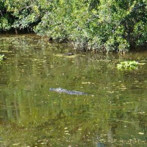 Swamp alligator swimming next to our boat
