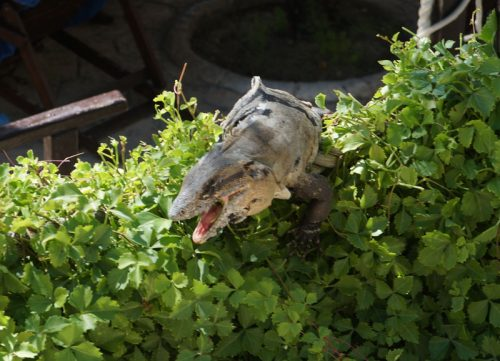 Iguana eating leaves in the bush
