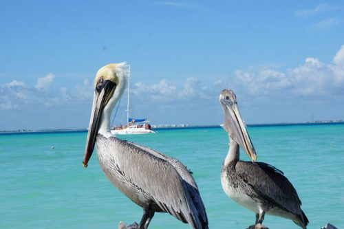 Pelicans at Playa Norte