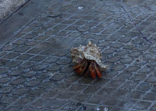 Shell Crab