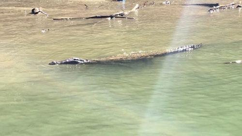 Crocodiles by the boat at Canon Del Sumidero