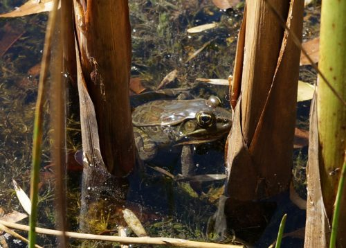 Frog in pond at orchid garden