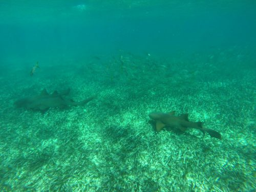 Snorkelling at Shark Ray Alley