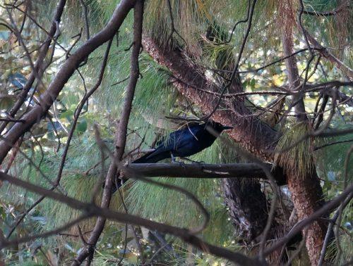 wildlife-black-bluebird