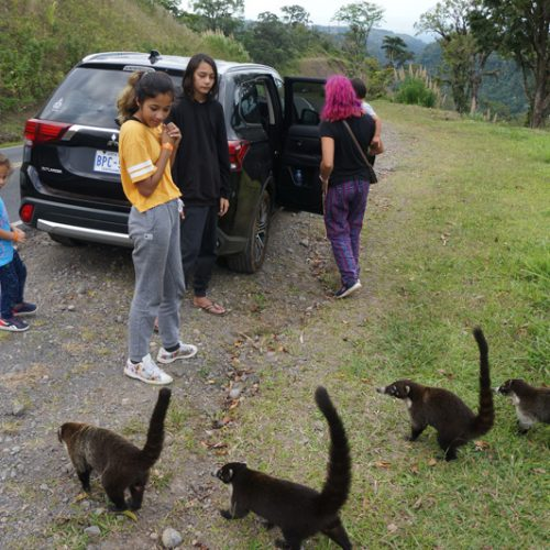 Coatis looking for food