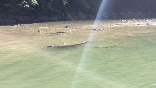Crocodiles by the boat at Canon Del Sumidero