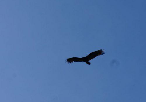 wildlife-hawk