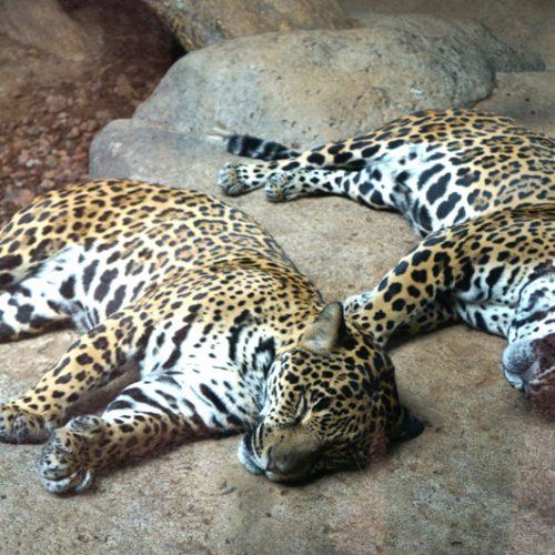 Jaguars resting