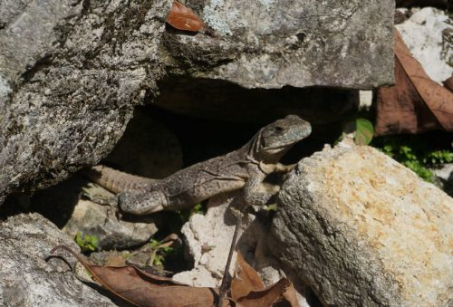 Lizard at the Palenque Ruins