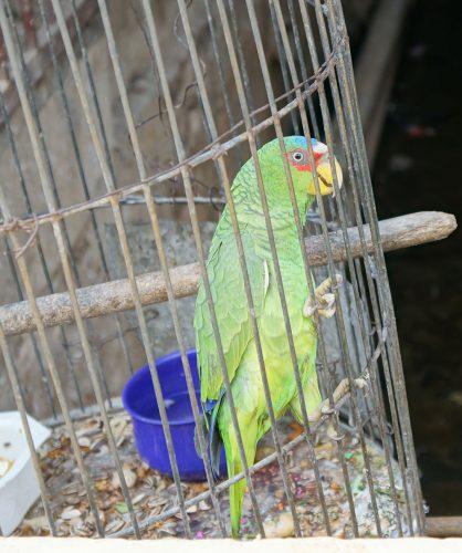wildlife-parrot