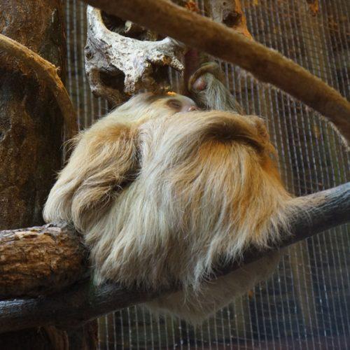 wildlife-sloth3