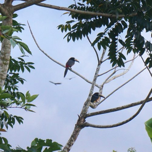 Toucans on the tree next to our house