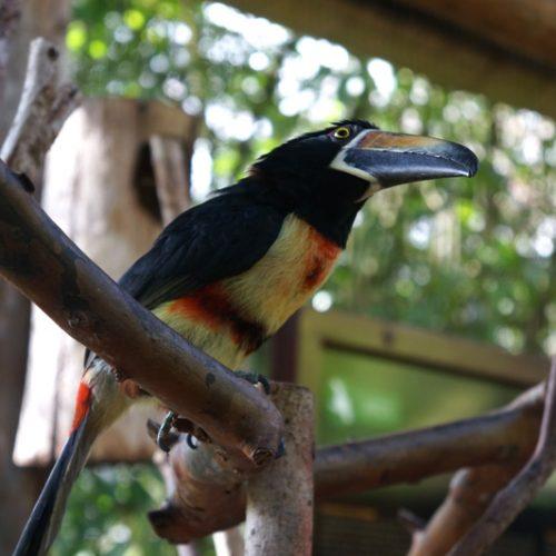 wildlife-toucan3