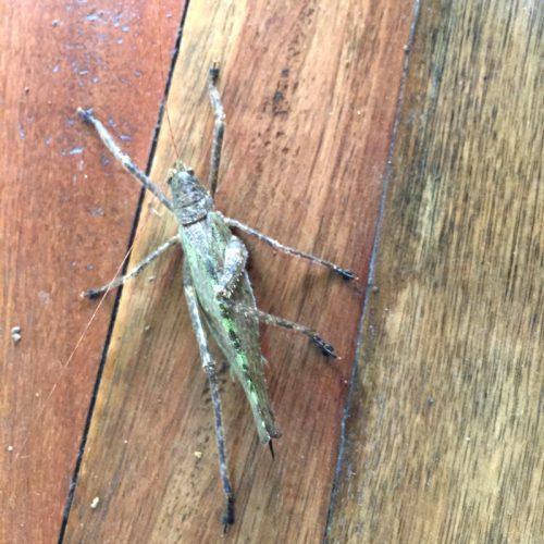 wildlife-grasshopper