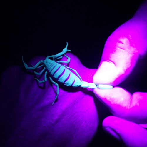 wildlife-scorpion