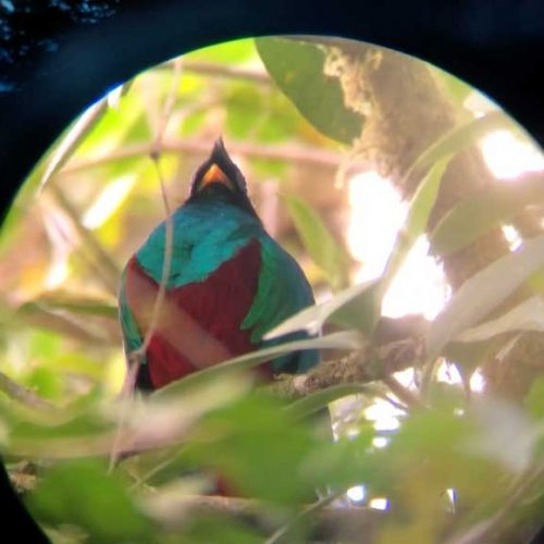 Zoomed in with binoculars on a Quetzal
