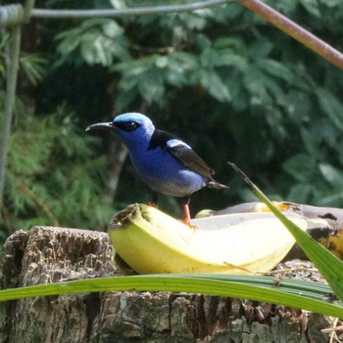 Left bananas out for bird feeding