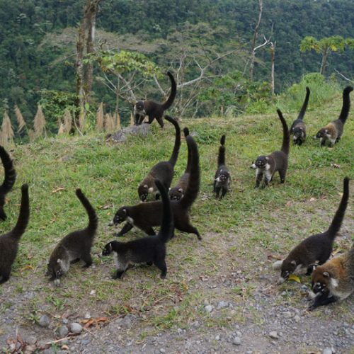 Coatis coming up from the valley for food from tourists