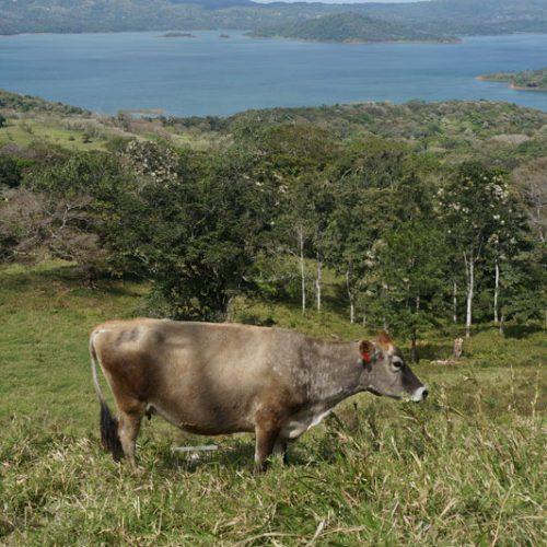 wildlife-cow