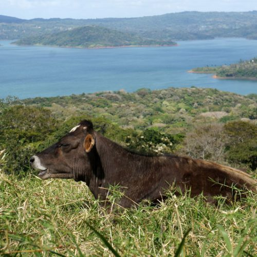 wildlife-cow3