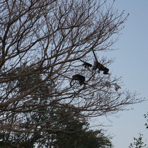 Woke up to Howler monkeys