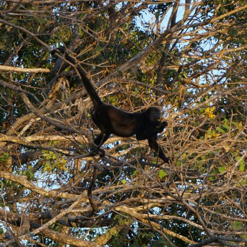 Howler Monkeys eating flowers in the trees