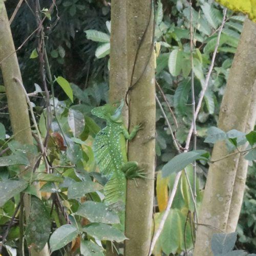 wildlife-iguana