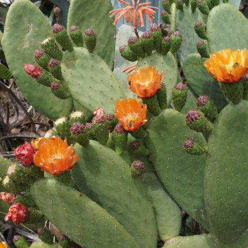 vinaros-cactus-flowers