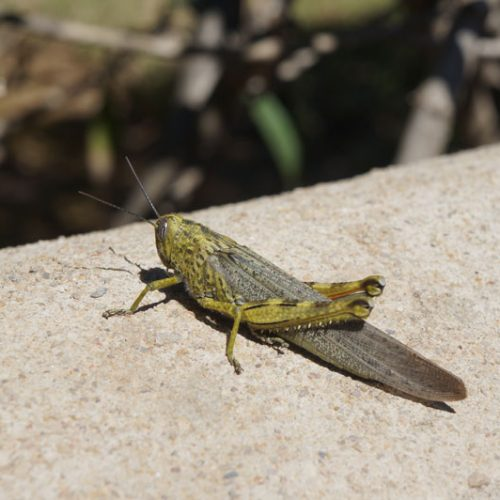 wildlife-grasshopper-2